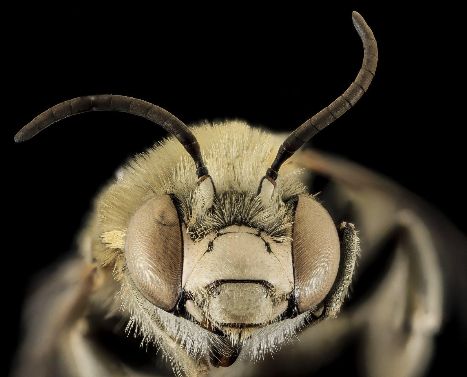 bee pollen insect macro